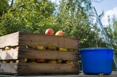 хлебоуборка яблока стоковые изображения rf