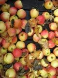 хлебоуборка яблока стоковая фотография
