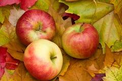 хлебоуборка яблок свежая новая Стоковое фото RF
