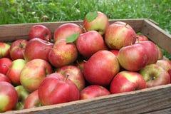 Хлебоуборка яблок Стоковая Фотография RF