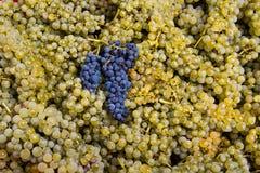 хлебоуборка 03 виноградин Стоковое фото RF
