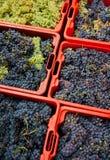 хлебоуборка 09 виноградин Стоковая Фотография RF
