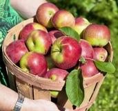 Хлебоуборка Apple падения Стоковое Изображение