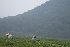 хлебоуборка hangzhou longjing около чая стоковая фотография rf