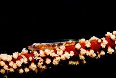 хлыст goby коралла стоковая фотография rf