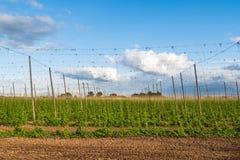 Хмели растя на шпалерах в поле для пользы в пивоваренной промышленности стоковые изображения