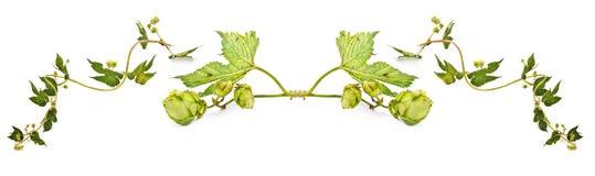 Хмель или Humulus коллаж стоковое изображение rf