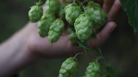 Хмель пива растет на ферме во время сбора стоковое фото
