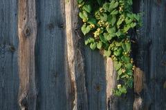 Хмель на загородке Стоковые Фото