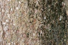Хобота предпосылки кожи коры дерева детальное корки grunge внешнего органическое выдержанное деревенское Стоковые Фотографии RF