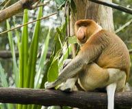 хоботок обезьяны Стоковое Фото