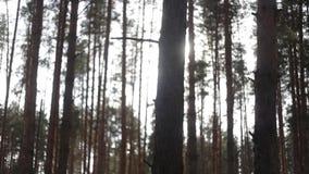 Хоботы деревьев в солнце утра Красивый лес весной при яркое солнце светя через деревья Озеро Байкал видеоматериал