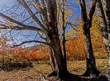 Хоботы деревьев крупного плана популярные сравнивают против желтых листьев падения Стоковая Фотография