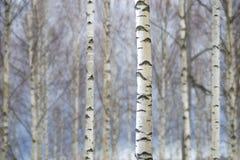 Хоботы деревьев березы стоковое фото rf