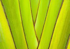 Хоботы заводов банана абстрактная предпосылка цветастая Структура декоративной ветви банана Стоковая Фотография RF