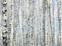 Хоботы зимы деревьев березы стоковое изображение