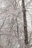 Хоботы и ветви высокого дерева упакованные в льде Стоковое Изображение RF