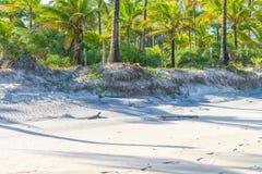 Хоботы кокосовой пальмы на день пляжа Стоковая Фотография