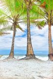 Хоботы кокосовой пальмы на день пляжа Стоковые Фотографии RF
