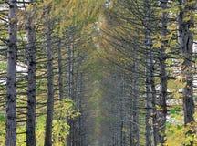 Хоботы переулка хвойных деревьев Стоковая Фотография