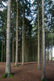 Хоботы сосны в лесе Стоковая Фотография RF