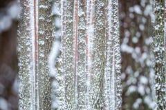 Хоботы сосны в зиме стоковая фотография