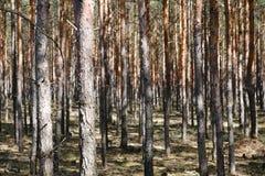 Хоботы сосны в лесе - хвойные деревья стоковое фото