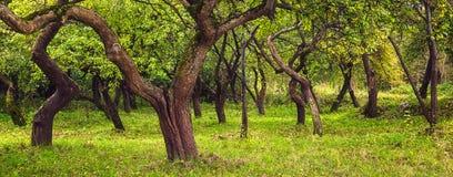 Хоботы branchy деревьев в зеленом саде Сад Яблока в лете green nature Стоковое Изображение
