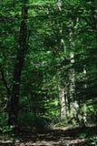 хоботы treees солнечного света бука освещающие Стоковое фото RF