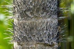 Хобот ладони персика Стоковые Фото
