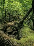 Хобот большого валить дерева стоковая фотография