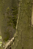 Хобот большого крупного плана дерева Стоковое Изображение RF
