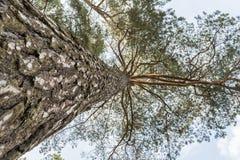 Хобот высоких сосны и кроны, взгляда снизу, предпосылка природы Стоковые Фото