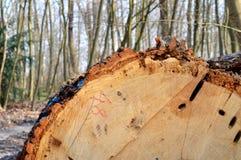 Хобот дуба дерева отрезанный в лесе Стоковые Фотографии RF