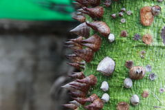 Хобот дерева & x22; колючее fagara& x22; Стоковое Фото