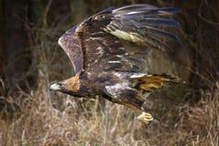 хобот золотистого lat орла chrysaetos aquila стоящий деревянный Chrysaetos Аквилы) Стоковая Фотография