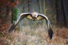 хобот золотистого lat орла chrysaetos aquila стоящий деревянный Chrysaetos Аквилы) Стоковые Фотографии RF