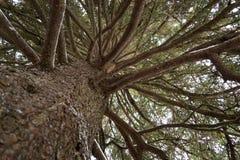 Хобот и ветви ели Стоковое Фото