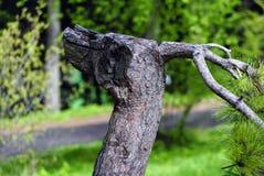Хобот и ветвь сосны, как голова дракона Стоковые Фото