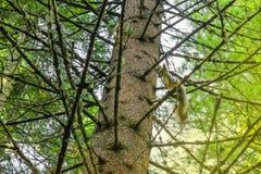 Хобот крупного плана хвойного дерева белки на ветви Стоковые Изображения
