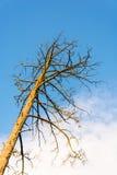 Хобот мертвого дерева против голубого неба Стоковое фото RF