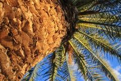 Хобот пальмы с листьями стоковые изображения
