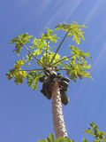 Хобот папапайи нерезкости высокий Стоковые Фото