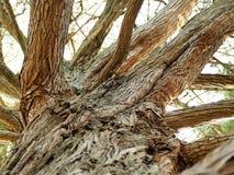 Хобот старого большого дерева, нижний взгляд Стоковое Фото