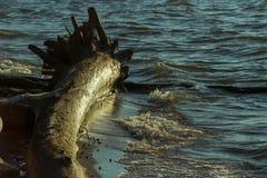 Хобот старого дерева в воде, на банке реки леса Стоковая Фотография