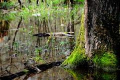 Хобот старого дерева в трясине леса Стоковые Изображения RF