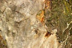 Хобот старого дерева Стоковые Изображения