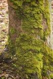 Хобот с мхом, в осени Стоковые Изображения RF