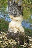 Хобот Aspen сгрызенный бобрами стоковое фото rf