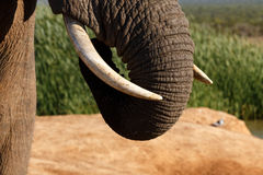 Хобот c - слон Буша африканца Стоковые Изображения